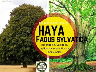 Haya, Fagus sylvatica, es un árbol robusto, si lo dejamos crecer libremente