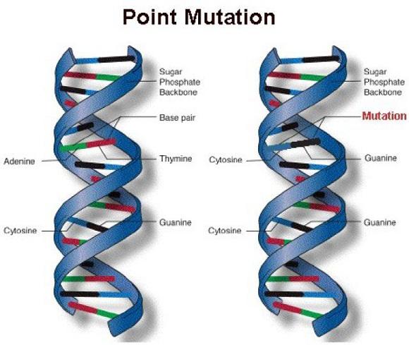 point mutations in humans www.anthropologist.co.in k n reddy
