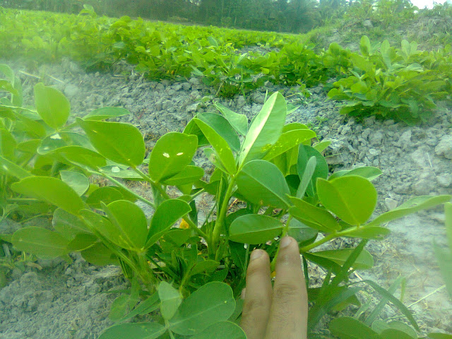 Kacang tanah banyak digunakan sebagai inang bagi bakteri Rhizobium leguminosarum dalam menyuburkan tanah pertanian. (foto original oleh: Wahid Priyono)