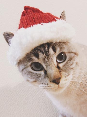 手編みのサンタ帽をかぶせられたシャムトラ猫