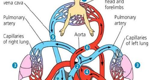 Sistem Peredaran Darah Manusia  Ravi Rizky Fachrezy