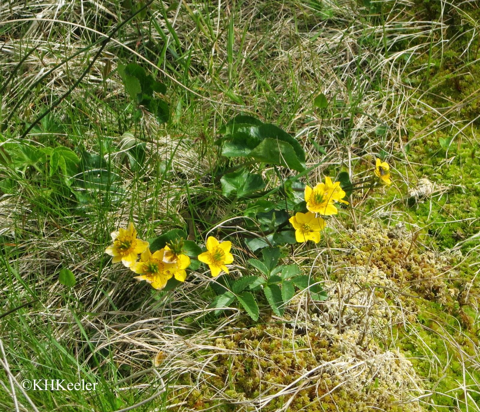 Catha pallustris, Shetland, Shetland