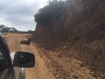 Vaca en la carretera. Samaipata. Bolivia