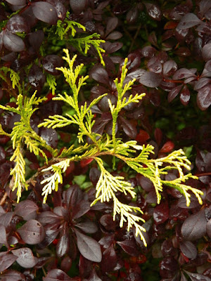 Japanese Barberry and Sawara False Cypress detail at the Toronto Botanical Garden by garden muses-not another Toronto gardening blog