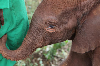 Elephant Advocacy - Rukinga A Three Week Old Baby Elephant