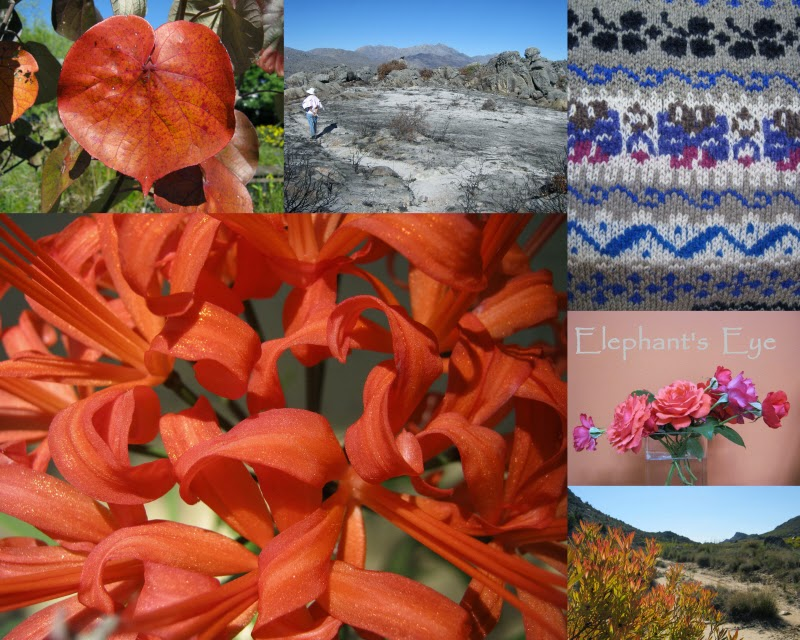 Autumn Fire Hibiscus tiliaceus, Groot Winterhoek after fire, Fairisle knitting Nerine sarniensis, dark roses Leucadendron