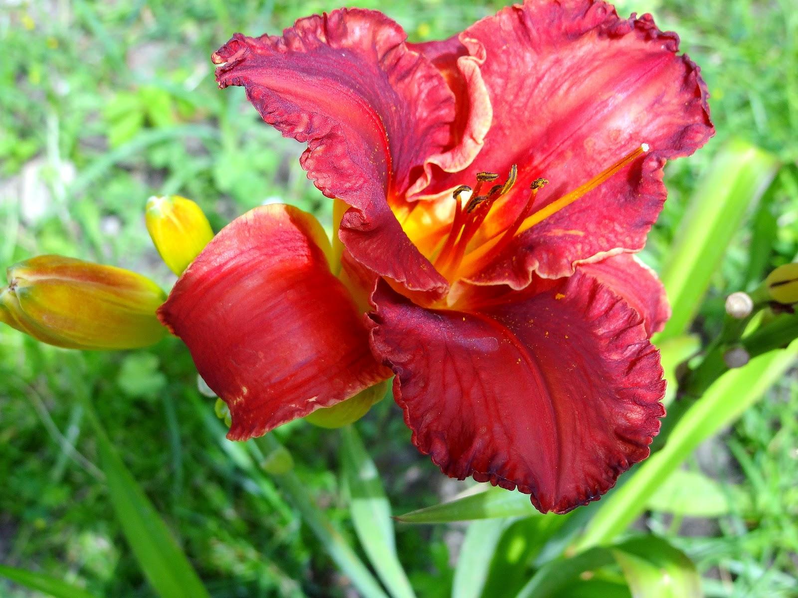 So Yardtistic: How to Plant BULBS like Hostas Daylillies and Iris Bulbs