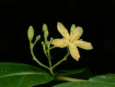 โมกเหลือง โมกถิ่นเดียวของไทย ดอกสีเหลือง/เหลืองอมเขียวอ่อน ดอกมีกลิ่นตุๆ