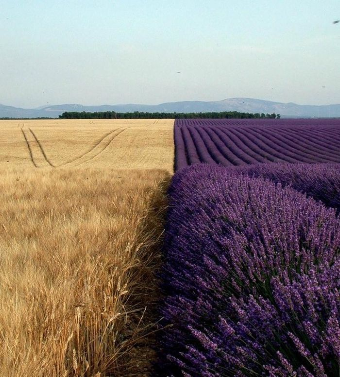 36 Unbelievable Pictures That Are Not Photoshopped - Wheat Field Next To A Lavender Field