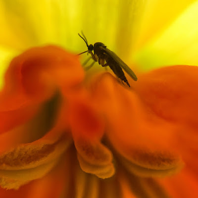 Tiny fly inside a daffodil, taken with my iPhone 6s and Olloclip