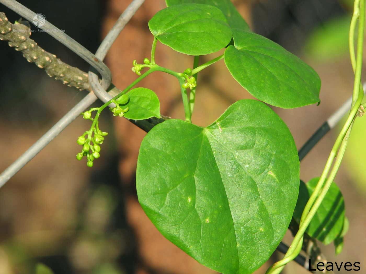 Rasakinda-Tinospora cordifolia