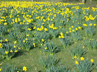 Daffodills and a Butterfly in Campbell Park