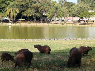 As capivaras de Holambra, indiferentes aos MPs estacionados na margem oposta do lago.
