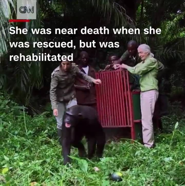 Chimpanzee hugging woman