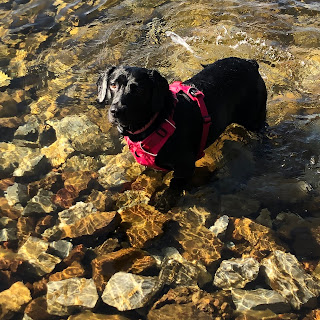 black springador with pink harness on in river with brown stones under water