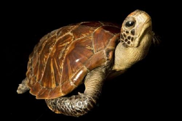 Fate of turtles, tortoises affected more by habitat than temperature