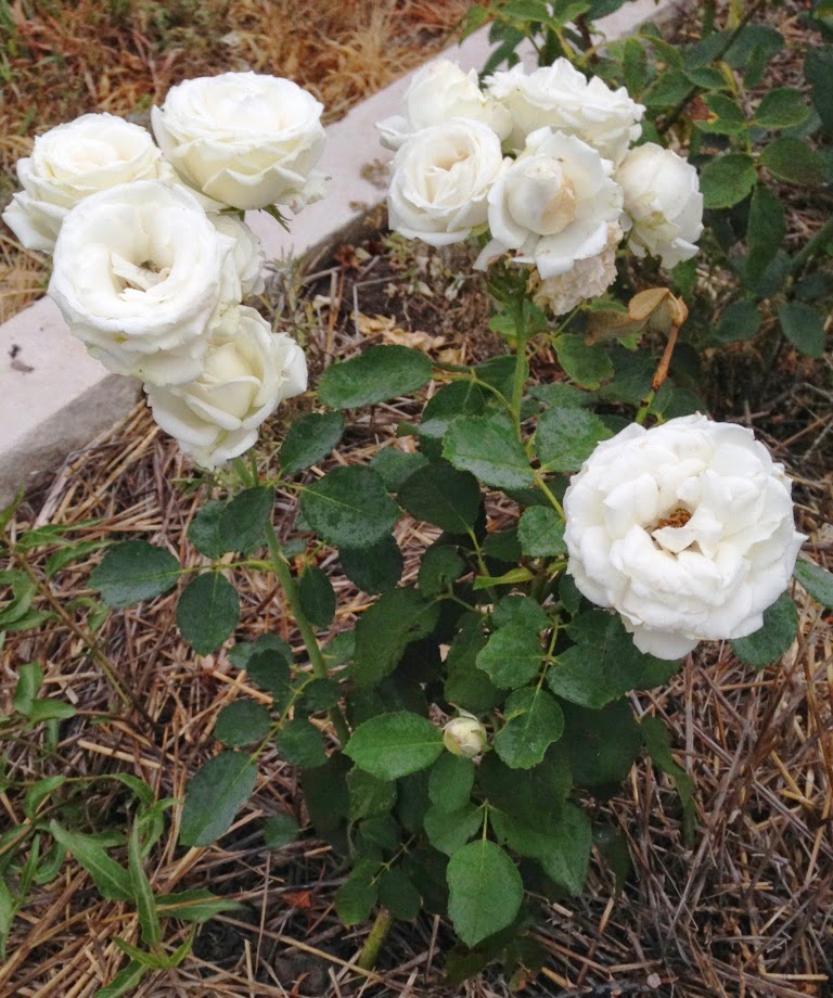 Garden Musings: White Dove