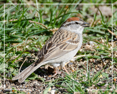 Chipping Sparrow. Copyright © Shelley Banks, all rights reserved