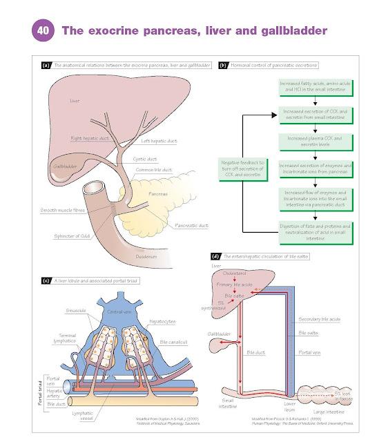 The Exocrine Pancreas, Liver And Gallbladder