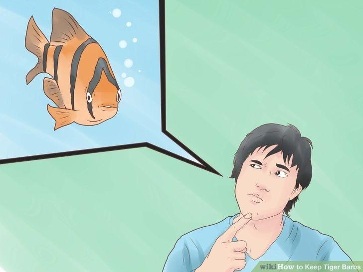 Ikan Sumatra Adalah Ikan Hias Galak