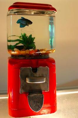 Aquarium Cupang Bentuk Toples