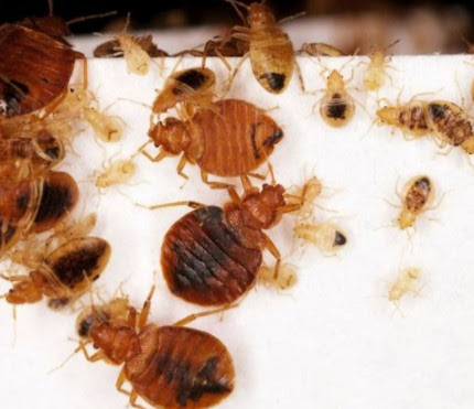 How To Get Rid Of Bed Bugs Fast Toronto | london ontario pest control