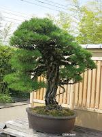 bonsai, Japan