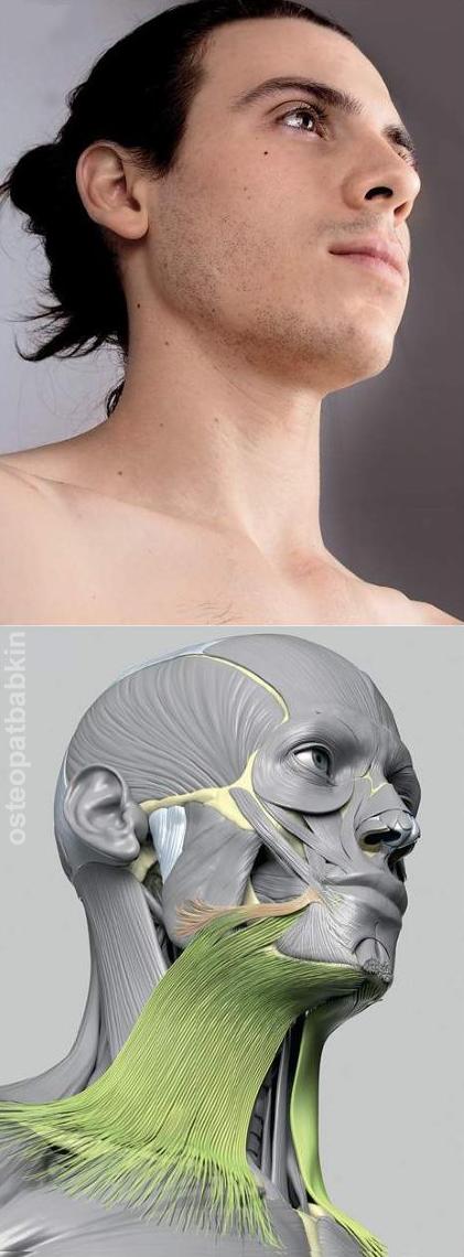 Подкожная мышца шеи platysma