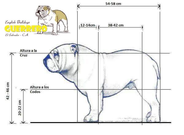 El Kennel De Tamaño Ideal Para Un Bulldog Inglés Guerrero English