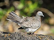 Di dunia internasional burung ini dikenal juga dengan nama  Mengenal Burung Perkutut