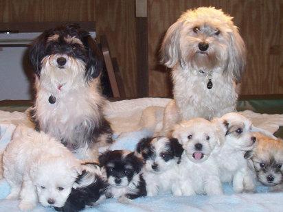 Familia entera de bichon habanero
