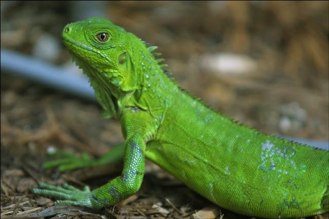 iguana pequeña