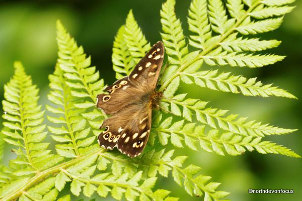 Speckled Wood - Photo copyright Pat Adams North Devon Focus