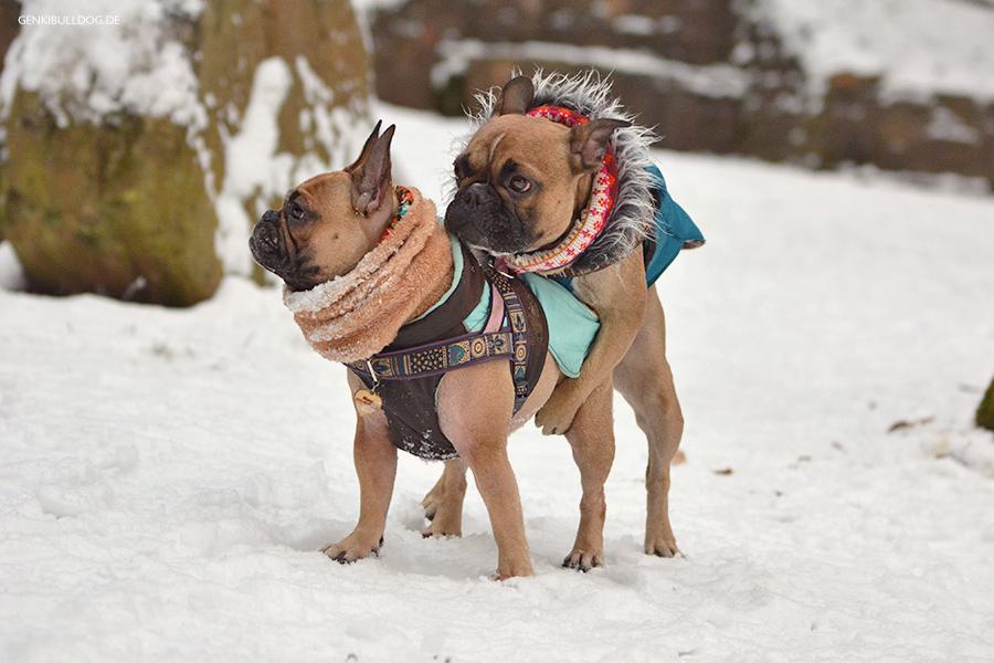 Hund, Hormone, kastrationschip, Verhalten, Französische Bulldogge, Bully, Hundeblog