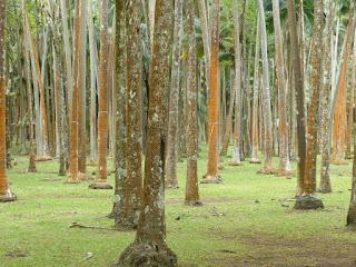 Forêt de palmistes à l'anse des cascades