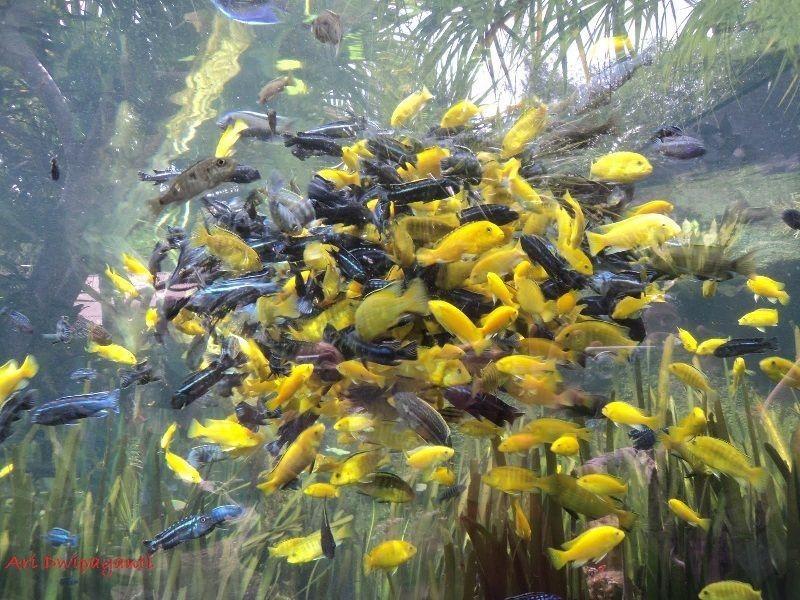 Ikan Yang Peka Terhadap Garam Ikan Atau Garam Akuarium-Ikan Lemon