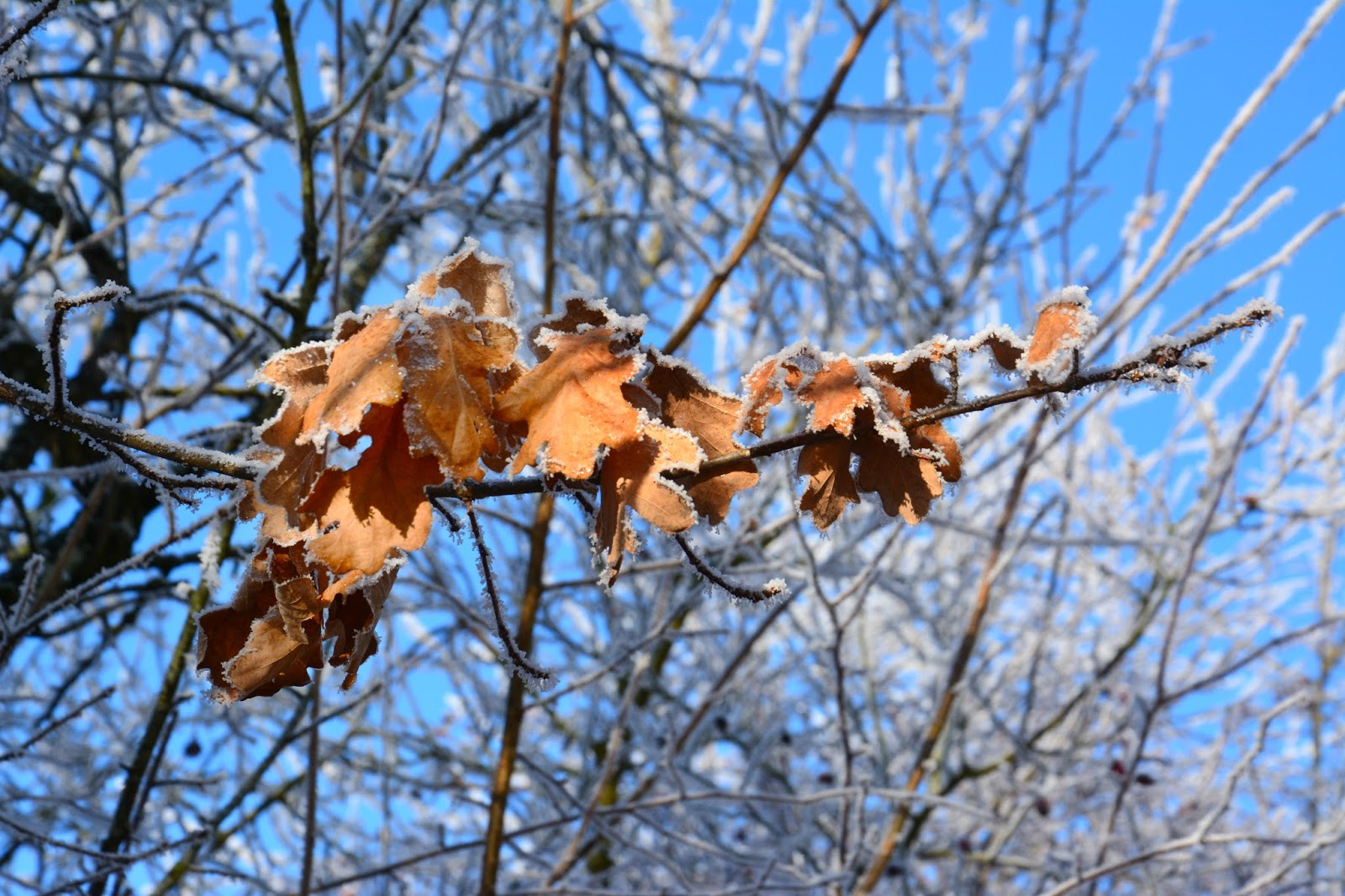 Tree branch with brown leaves and frost