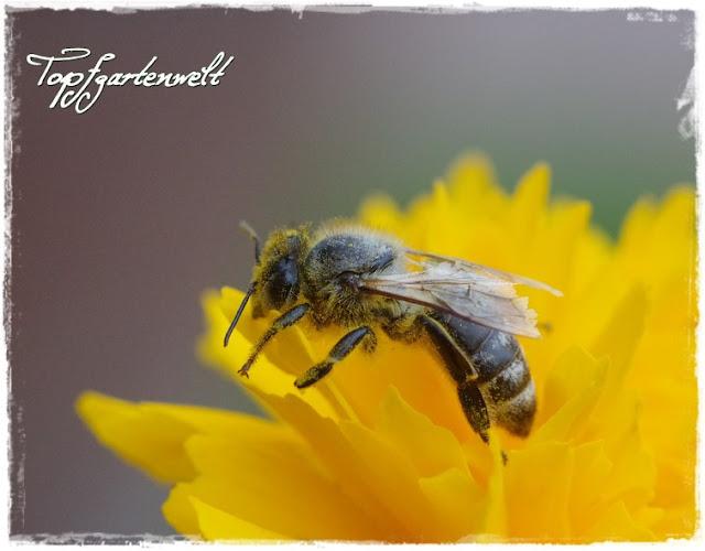 Gartenblog Topfgartenwelt Nützlinge im Garten: Biene auf Mädchenauge