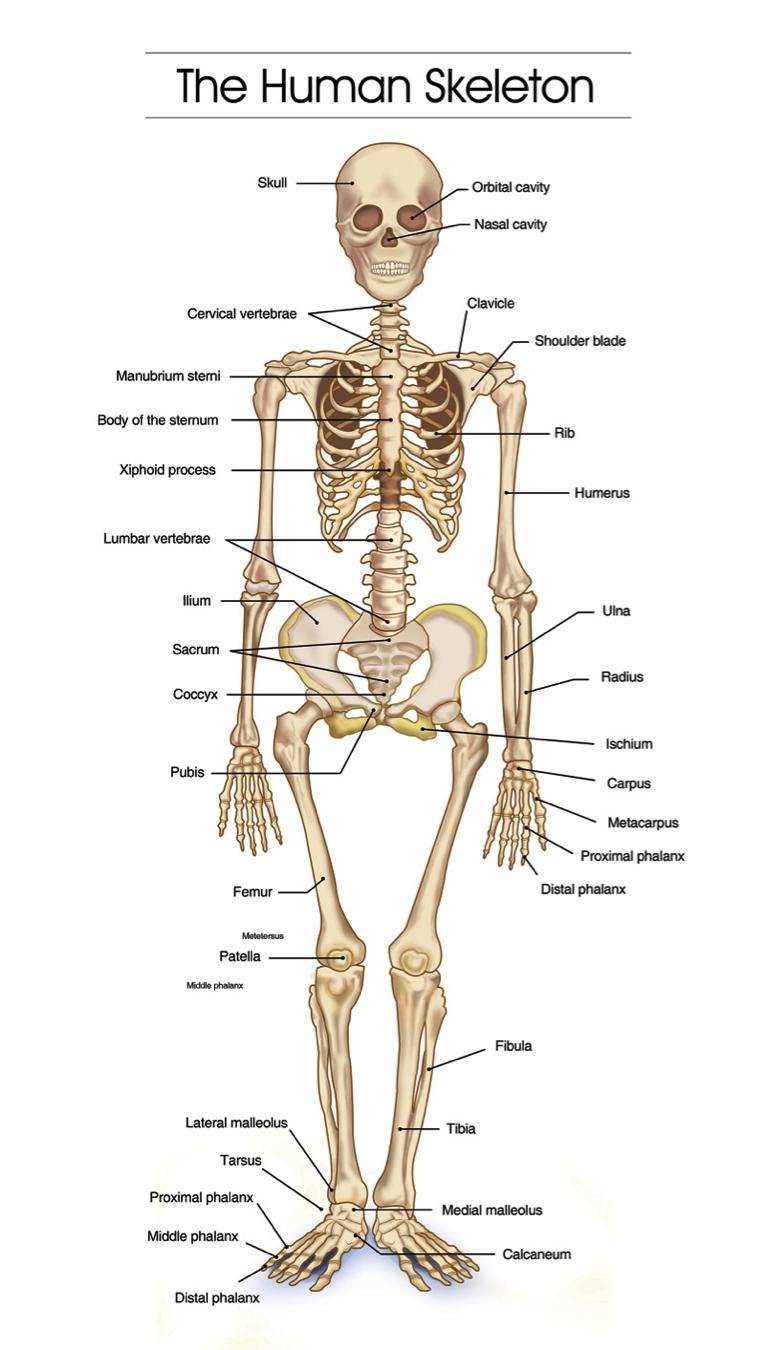 Nursing Hangout The Human Skeletal System