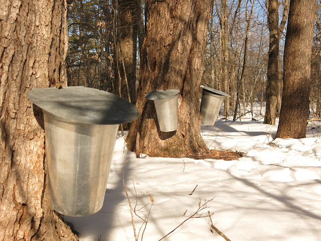 Maple sugaring in Chicago suburbs