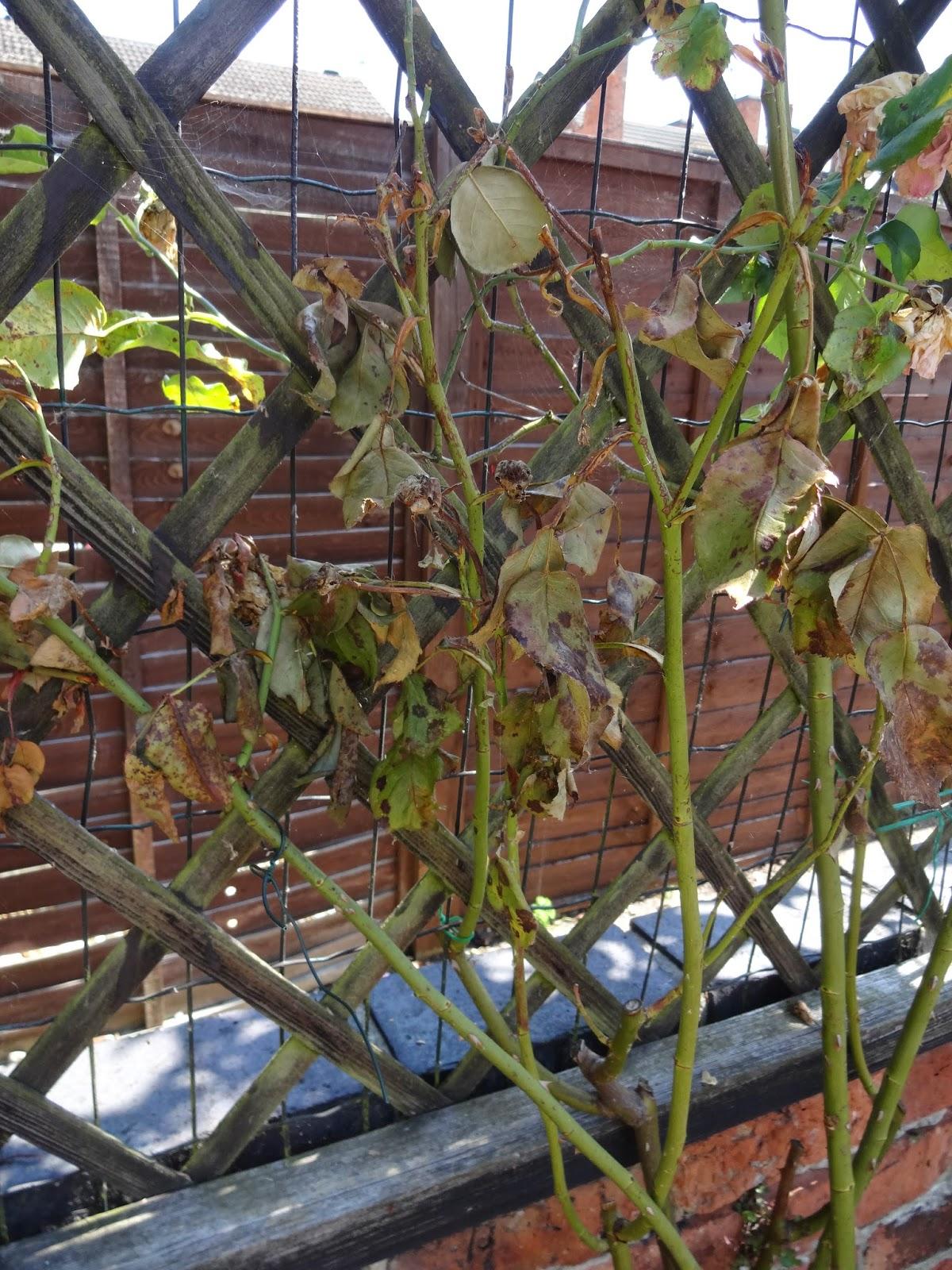 dying rose bush