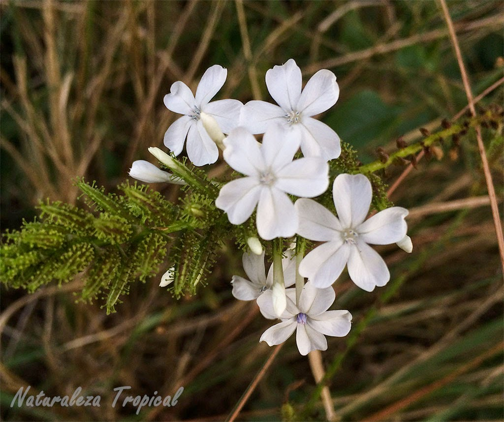 Variedad blanca de la flor Celestina, Plumbago auriculata