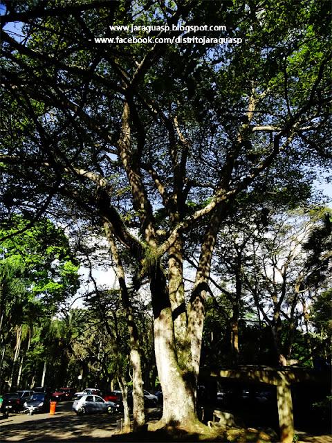 Jatobá com 450  anos (localizado dentro do PEJ), o qual segundo uma lenda teria sido plantado por Afonso Sardinha