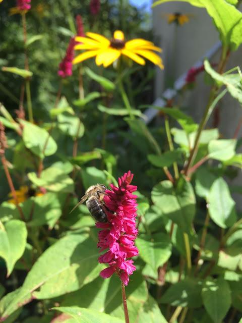 une abeille butine un polygonum. On la comprend.