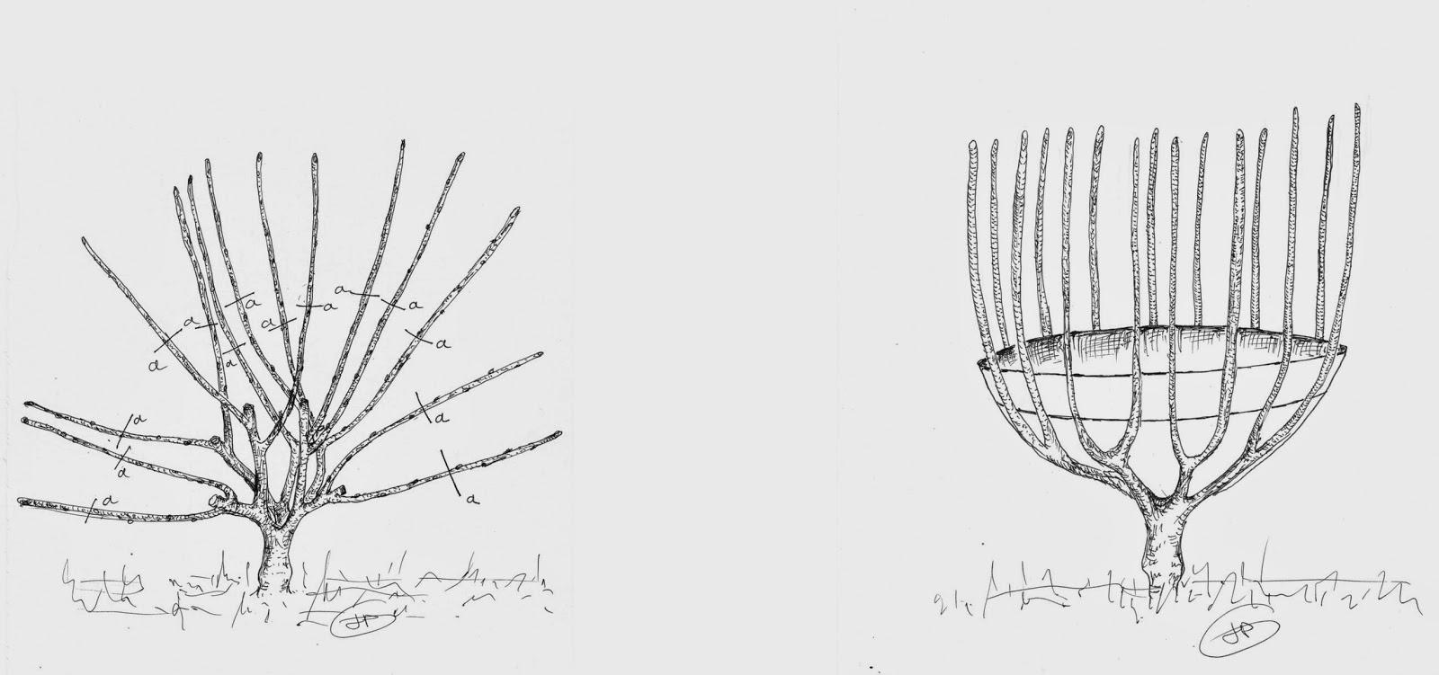 Les secrets de la taille et de la greffe des arbres - Taille des arbres fruitiers a noyaux ...