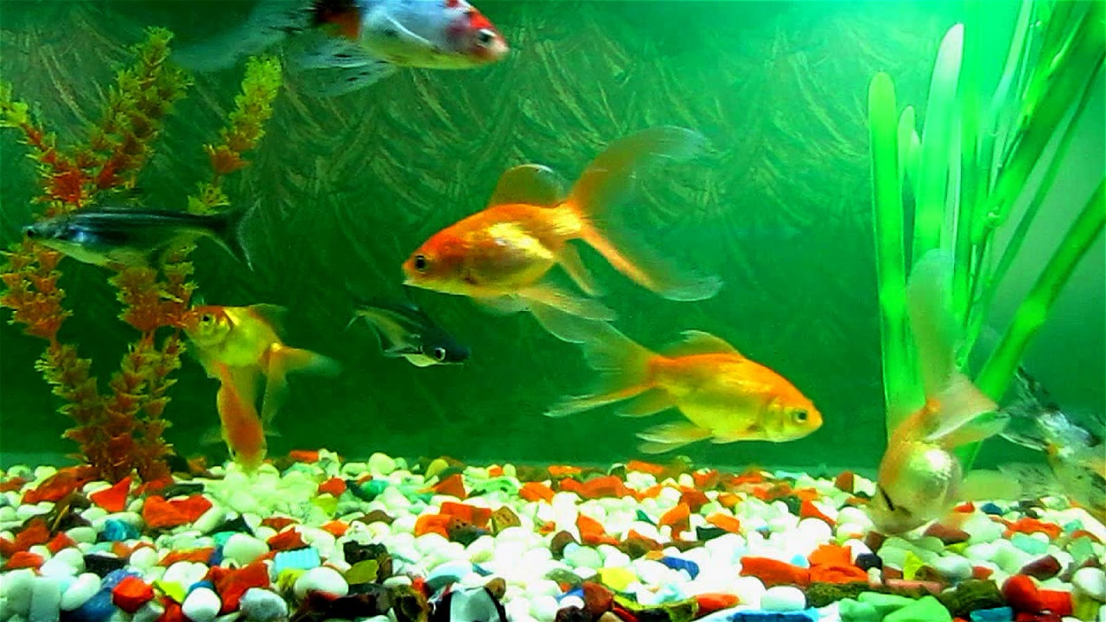 Fish aquarium take care - Fishes Need A Specific Environment Around Them Otherwise They Can Die And There Is A Chance That Size Of Fish Will
