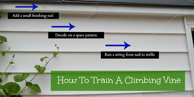 Directions on how to train a climbing vine
