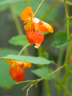 Impatiens capensis Spotted Jewelweed Toronto ecological gardening by garden muses-not another Toronto gardening blog