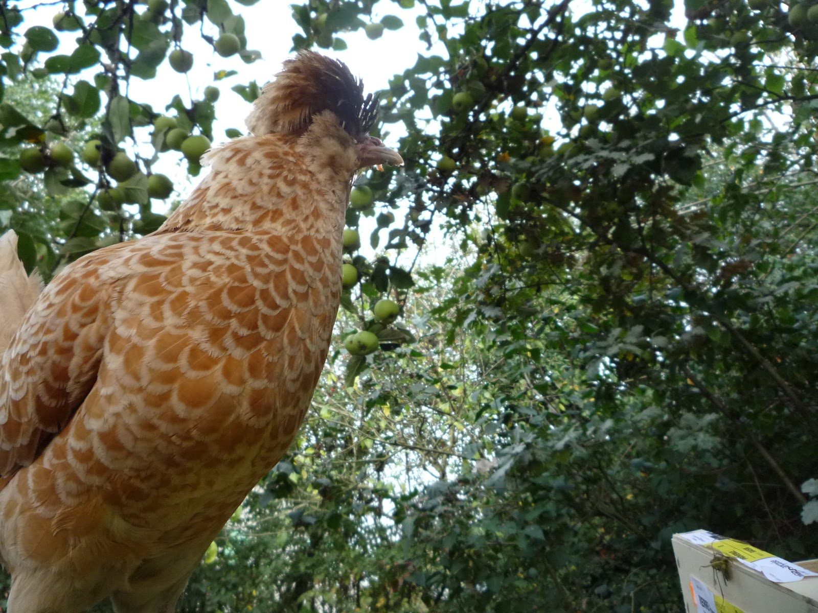 Choosing Chickens - Polish Crested - Beauty, Brains and Rusticity ...