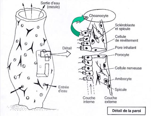 Structure = « gastrula »